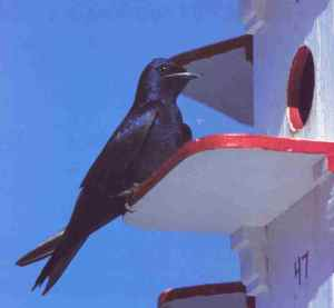 Purple Martin Majesty